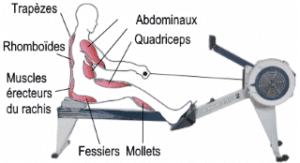Quels sont les muscles travaillés quand on fait du rameur